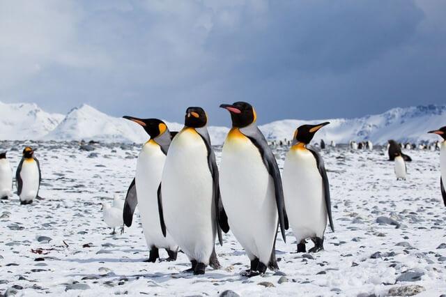 Chim cánh cụt sống ở đâu? Tại sao chim cánh cụt sống được ở Nam Cực